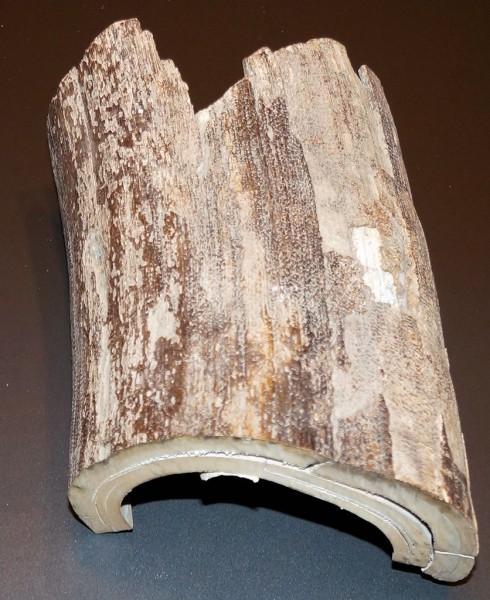Stoßzahnfragment mit schöner Rindenstruktur - dekorativ