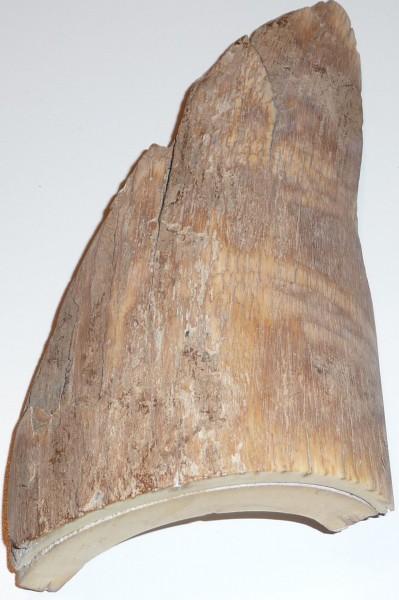 Rindenstück vom Mammutstoßzahn