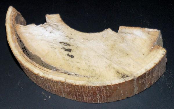 halber Querschnitt vom Mammutstoßzahn